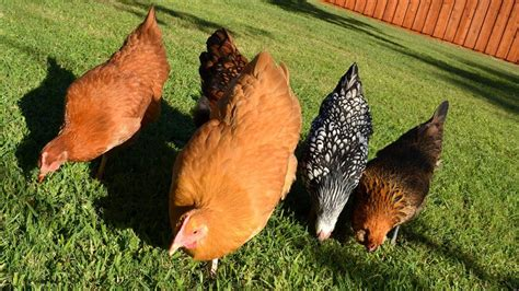 Backyard Chickens Forum by Pastured Free Range Backyard Chickens Letting Them Out