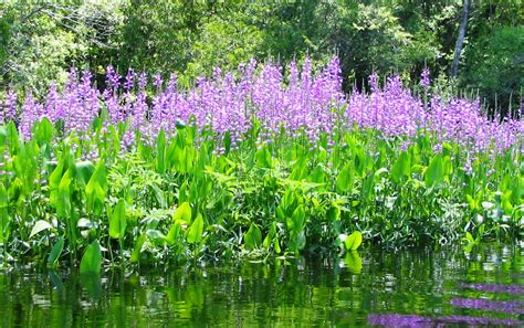 Discover The Beauty And Role Of Native Aquatic Plants In