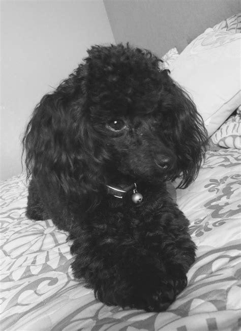 Oliver Poodle   Poodle, Pup, Animals