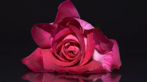 colorful rose flowers high quality images  wallpapers