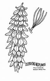 Pine Trees Coloring Tree Pages Spruce Cliparts Clip Clipart Colouring Library Embroidery sketch template