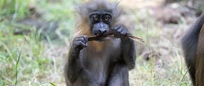 Monkey Primate Wildlife Funny 1080p Background Wide