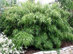 Bambus Zurückschneiden Frühjahr : bambus pflanzenshop fargesia rufa kaufen ~ Whattoseeinmadrid.com Haus und Dekorationen