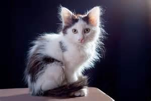 hair cat grooming haired cat grooming tips wishforpets