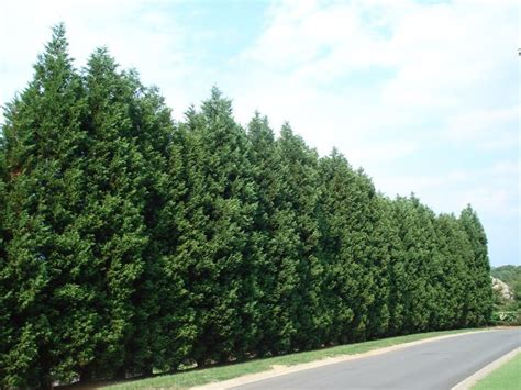 fast growing evergreen trees 10 best ideas about fast growing trees on pinterest fast growing flowering bushes and