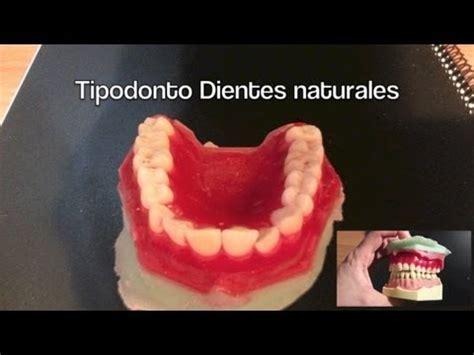 como puedo hacer una maqueta de una dentadura como hacer un tipodonto de dientes naturales part