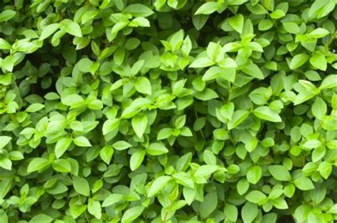 hedge bushes types pictures of different types of evergreen shrubs slideshow