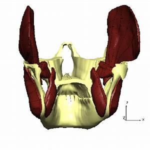 Muscles Of Mastication  The Mandible And The Maxilla At
