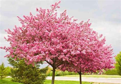 great small trees ogrodkroton pl judaszowiec chiński avondale cercis chinensis avondale