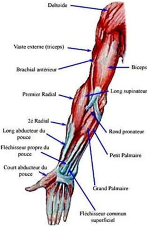 les muscles adducteurs de la hanche adducteur court adducteur grand adducteur pectin 233