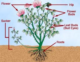 Glossary Parkside Nursery Rose Growers