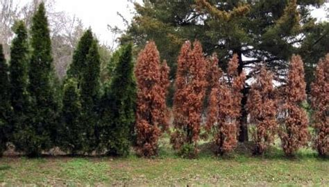 dont recommend leyland cypress trees lewis bamboo