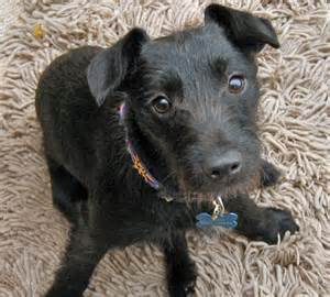 Black Patterdale Terrier Mix Dog