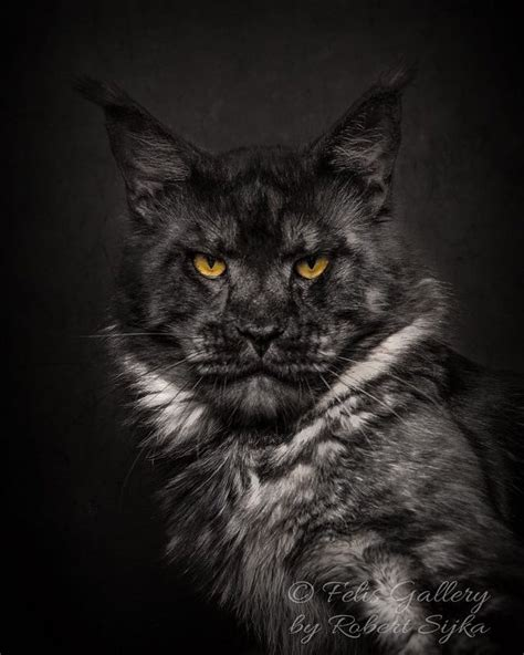 artist photographs maine coon cats making
