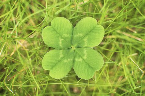 four leaf clover st s day 2016 what s the difference between a shamrock and a four leaf clover metro news