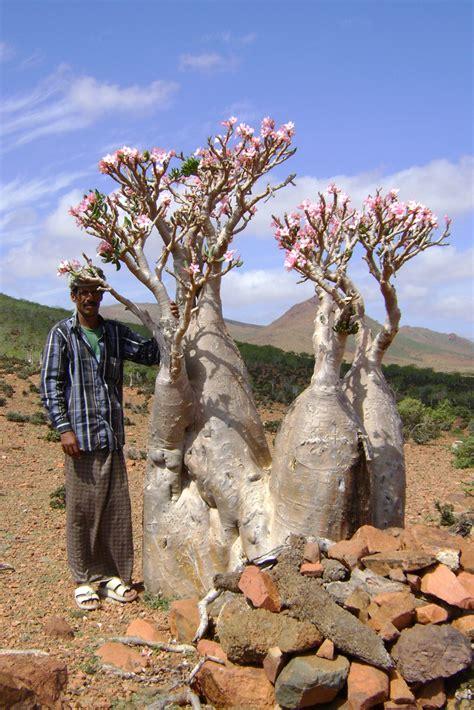 DSC02977 Bottle Tree (Adenium obesum socotranum) | Scott ...