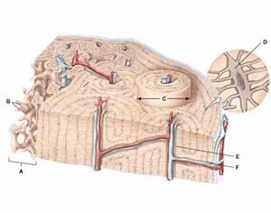 Osteon In Compact Bone  U0026 Trabecular In Spongy Bone