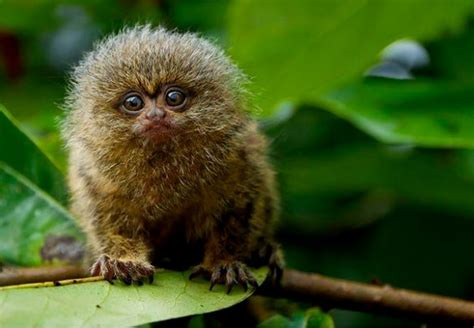 A Pygmy Marmoset The World's Smallest Monkey Species