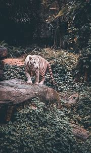 Bengal tiger, Tiger, Felidae, Tree, Wilderness, Big cats ...