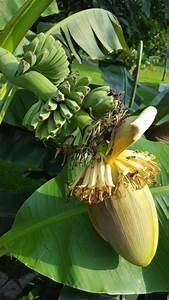 rote garten banane blu krauter gemuse so gesund With feuerstelle garten mit banane zimmerpflanze früchte