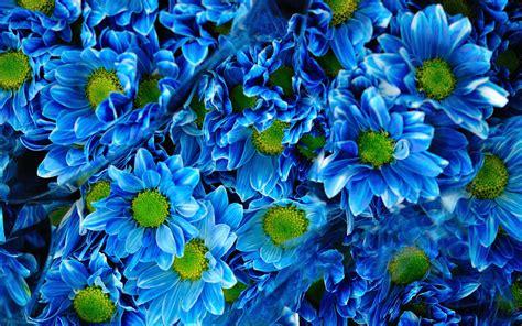 wallpaper chrysanthemums blue flowers bouquet
