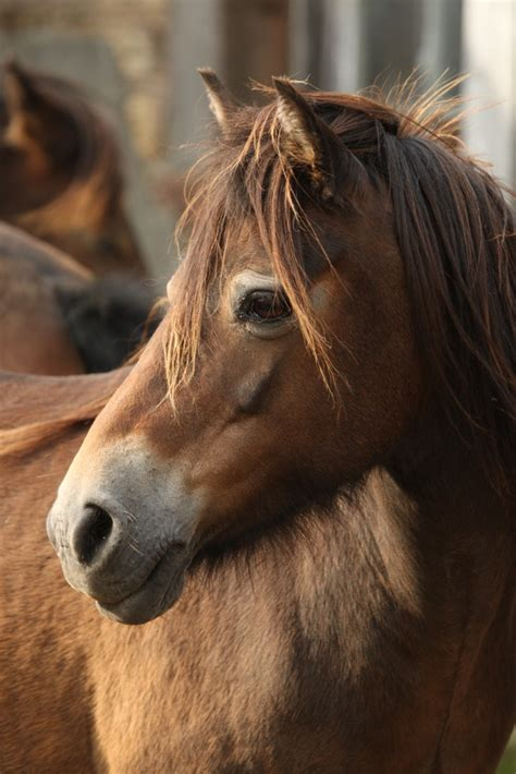 exmoor pony ponies horse horses britain wild things shetland chamfron stud england move