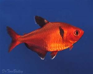 17 Best images about Fish For Tank on Pinterest