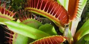 Venusfliegenfalle Pflege Haltung : venusfliegenfalle haltung der fleischfresser in pflanzenform ~ Watch28wear.com Haus und Dekorationen