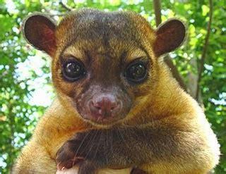 amazon rainforest animals kinkajou amazon rainforest