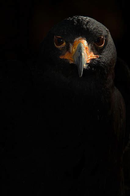 black eagle wallpaper gallery