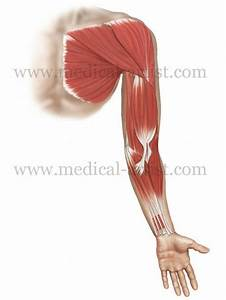 Muscle Flashcards Flashcards