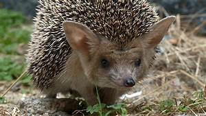 Bilder Von Igel : welt der tiere vom igel mit den gro en ohren welt der tiere br fernsehen fernsehen ~ Orissabook.com Haus und Dekorationen