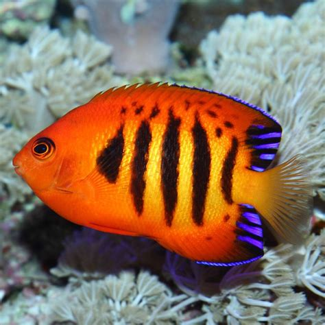 colorful saltwater fish world s top 20 colourful fish for your aquarium half samosa