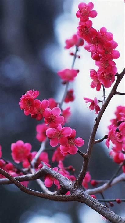 Blossom Cherry Iphone Sakura Widescreen Wallpapers Flowers