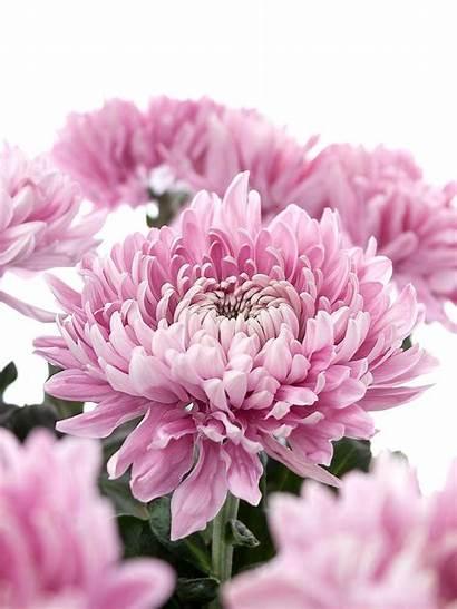 Holiday Chrysanthemen Blumigo Uns Bei Pruefen Anfrage