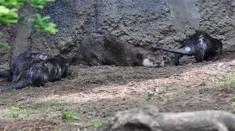 river otter pups  display  oakland