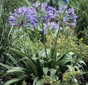 Entretien Des Agapanthes : agapanthe semer et planter ooreka ~ Melissatoandfro.com Idées de Décoration