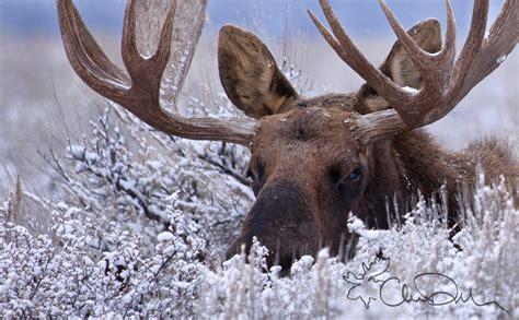 A  Ee  Moose Ee   Hidden In The Snow Winner Of Natures Best