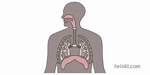 Respiratory System With Vocal Cords English Biology
