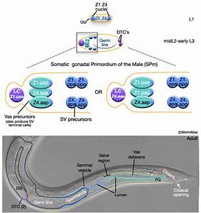 C Elegans Cell Wiring Diagram