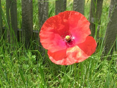 poppy varieties pictures types of poppy flowers garden guides