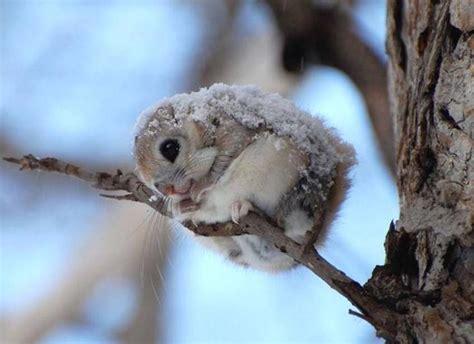japanese dwarf flying squirrel  cute xcitefunnet