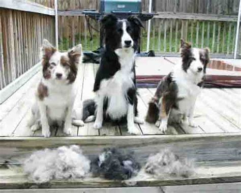 dogs that dont shed hair nz 100 dogs that dont shed hair nz purina what of