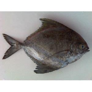 black pomfret fish manufacturers suppliers exporters