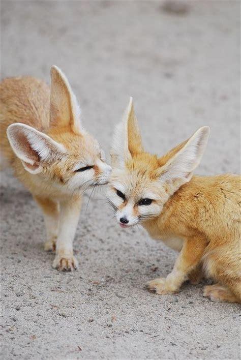 fennec fox ideas  pinterest fennic fox pet