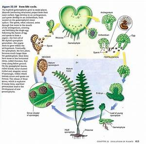 Lifecycle Of A Fern  With Images