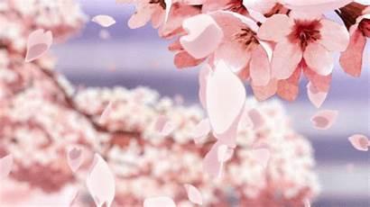Cherry Blossom Flower Sakura Anime Background Google