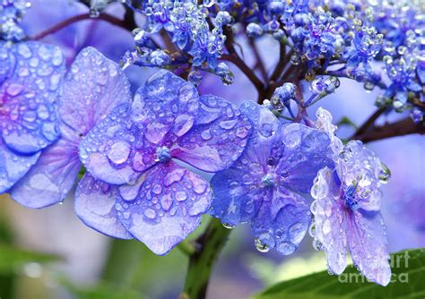 hydrangea after the rain 2 photograph by sharon talson