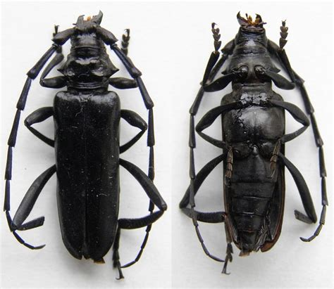 http://insecterra.forumactif.com/t26986-cerambycidae-du-vietnam
