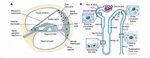 Cochlea Diagram Cells Lining Scala Typani
